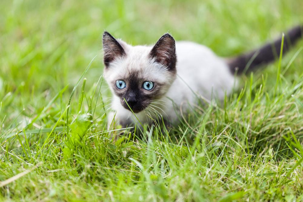 Siamese kitten in yard