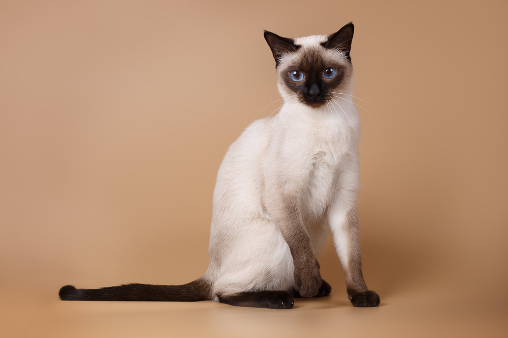 Siamese cat on a tan background