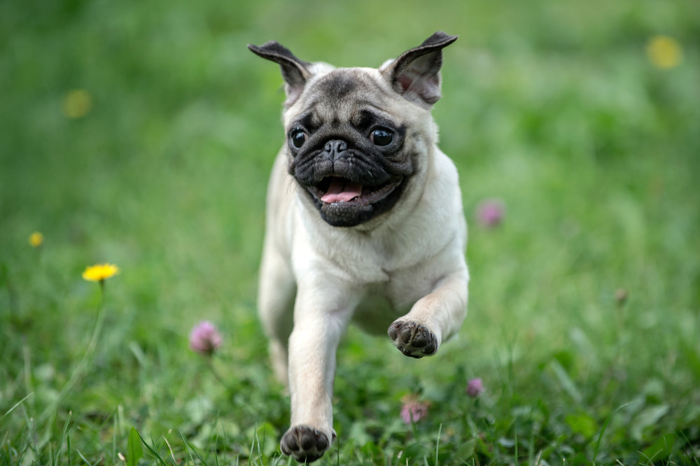 Active pug running outside