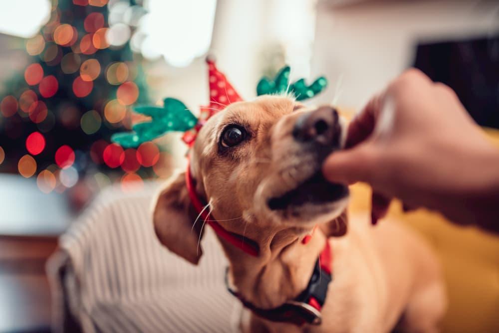Woman giving dog holiday treat