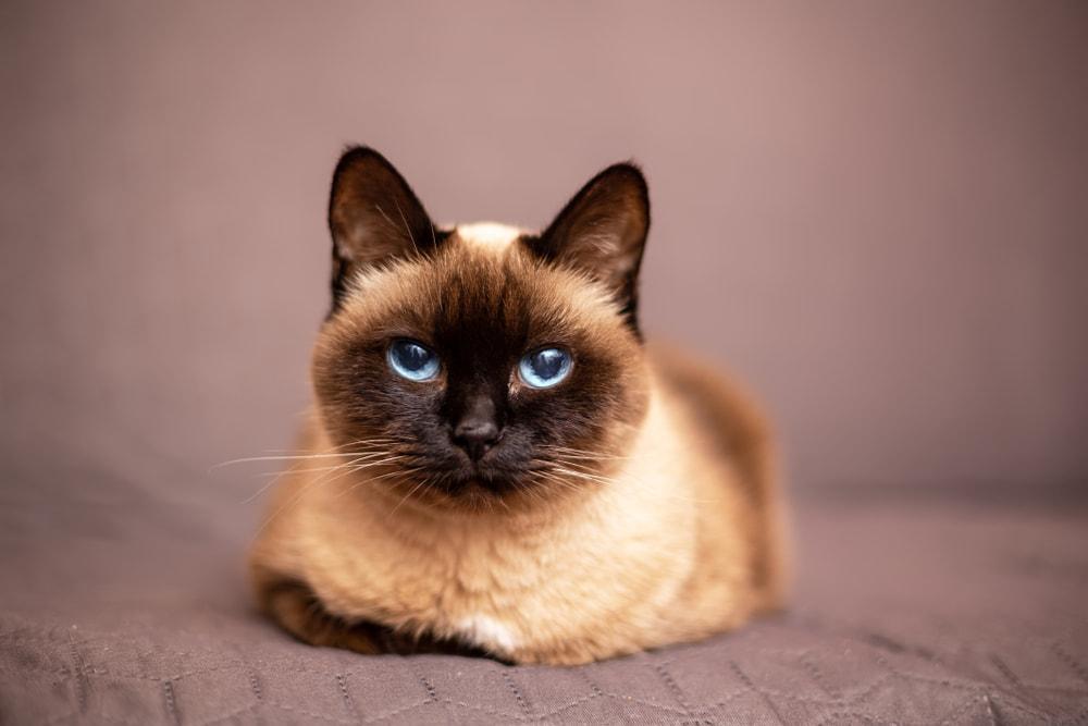 Pretty Siamese cat