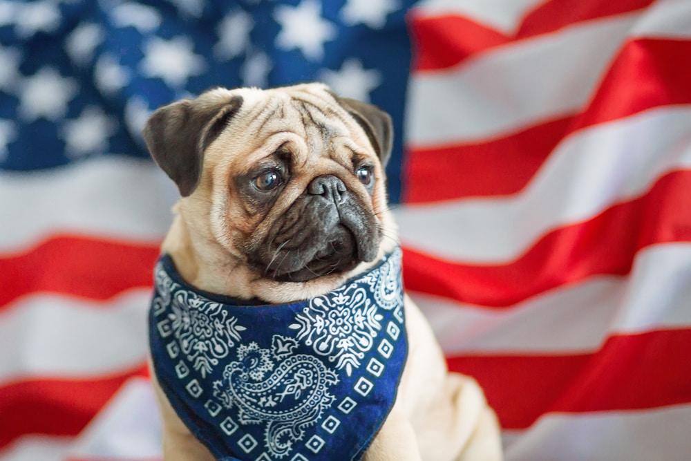 Pug with American flag