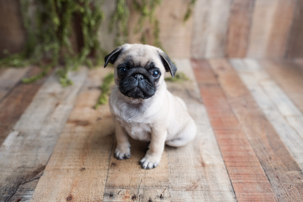 Picture of pug puppy