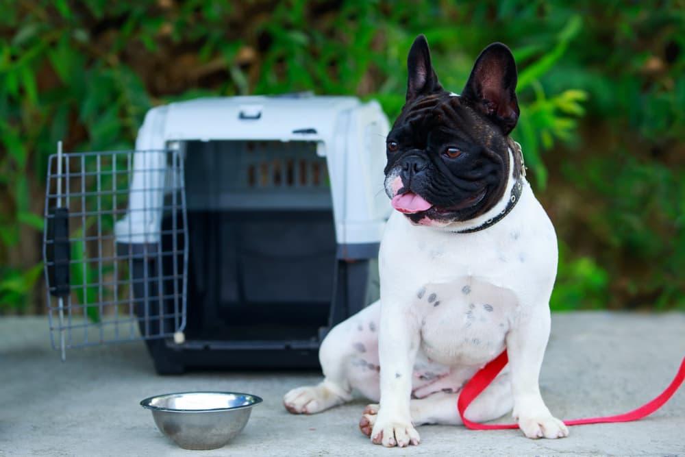 French Bulldog near crate