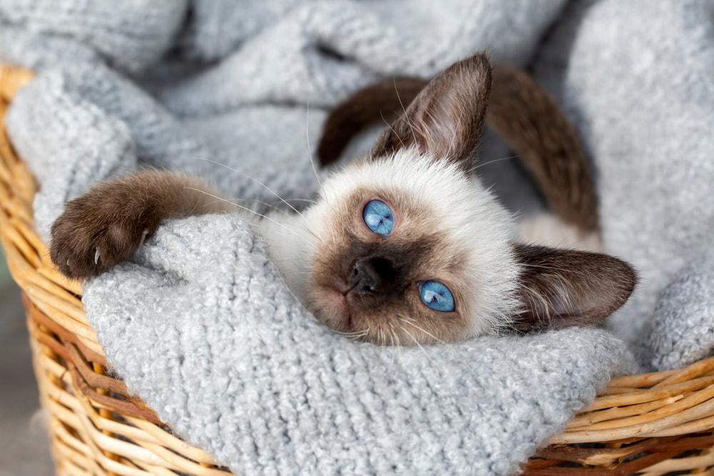 Siamese kitten in basket