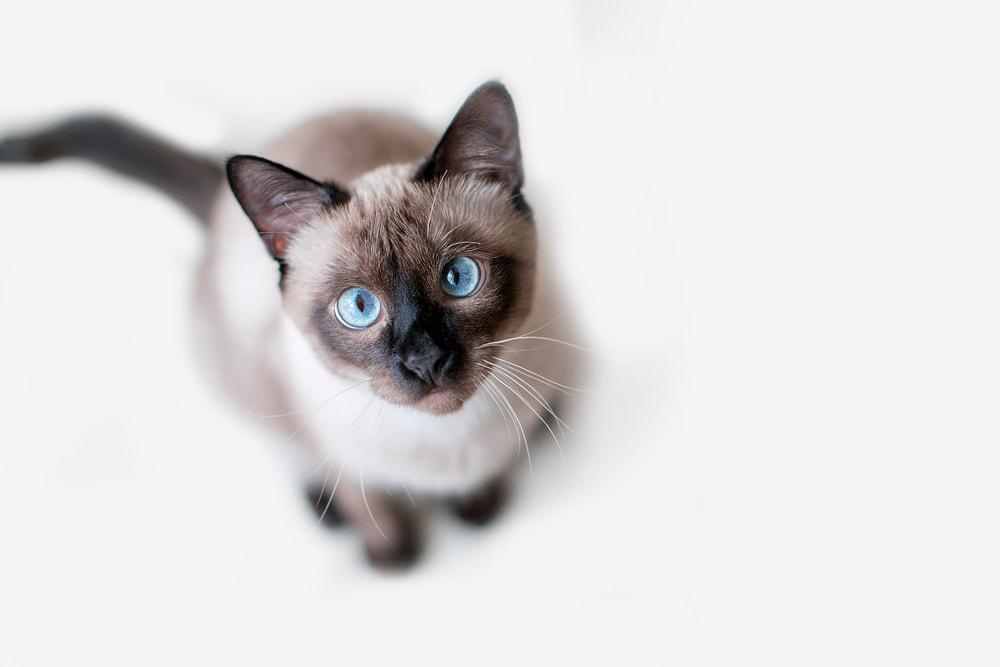 Rescued Siamese cat