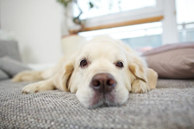 Weak dog lying on bed
