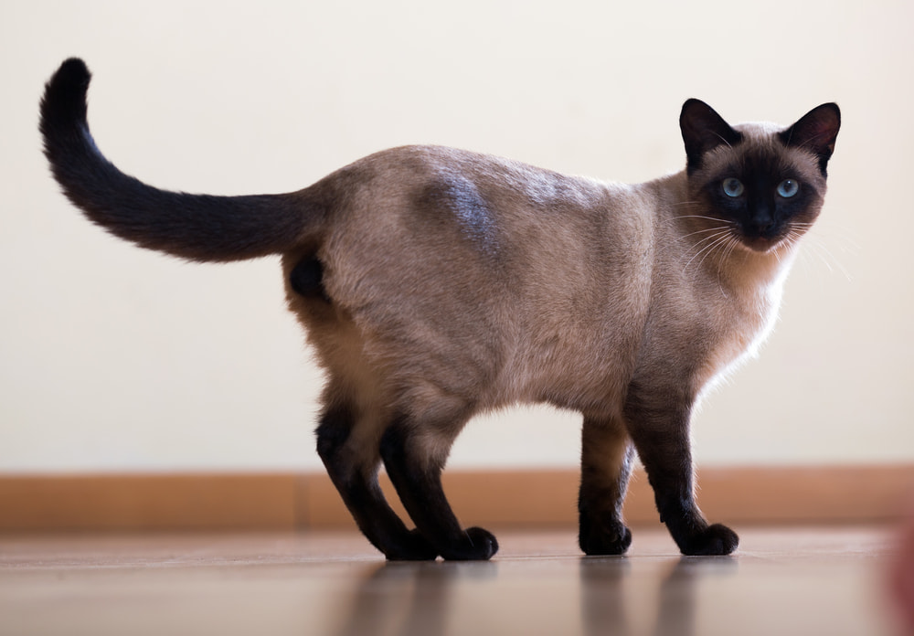 Siamese cat with tail up