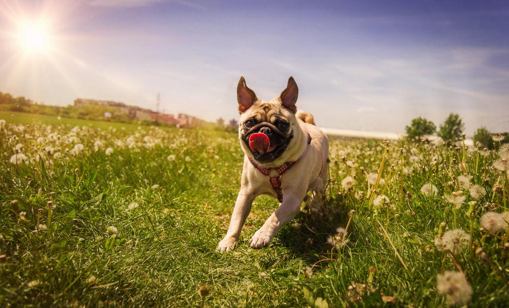 Pug running in flowers