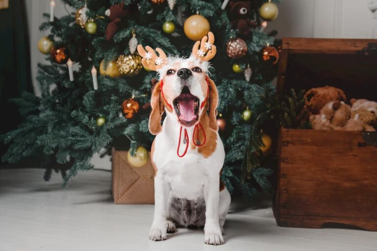 Stressed Beagle in front of Christmas tree