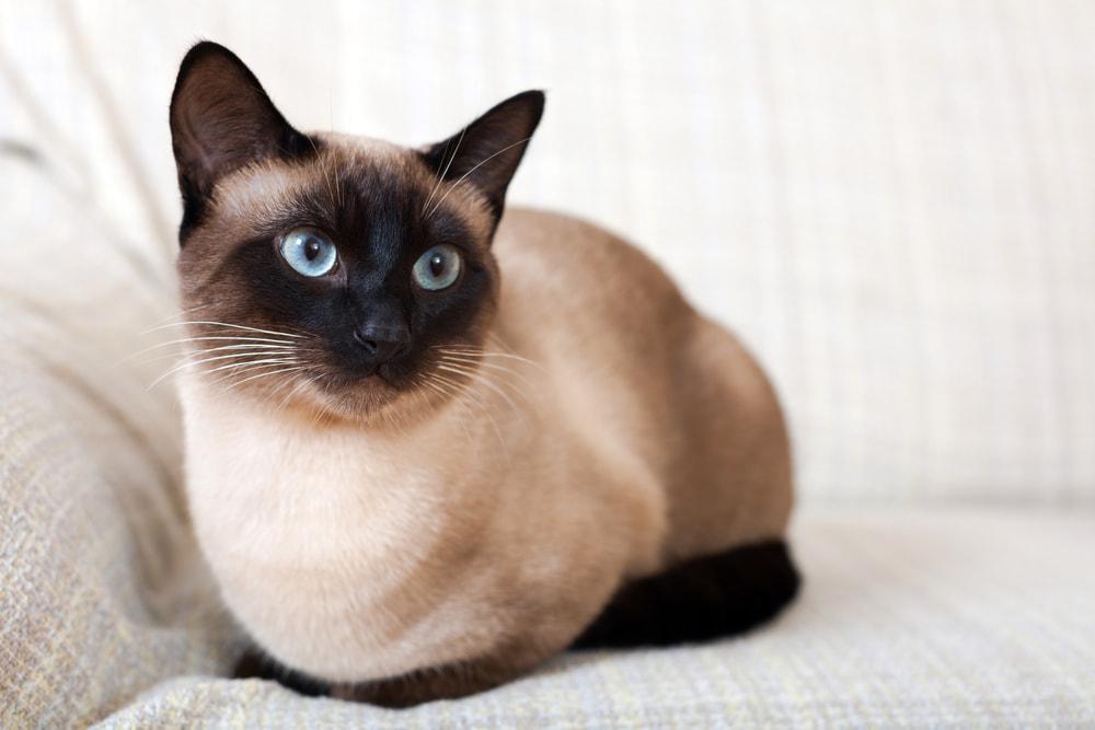 Siamese cat on sofa
