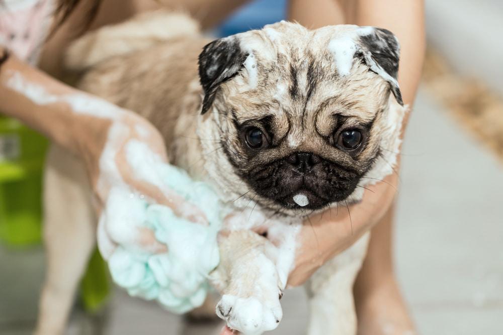 Pug getting a bath