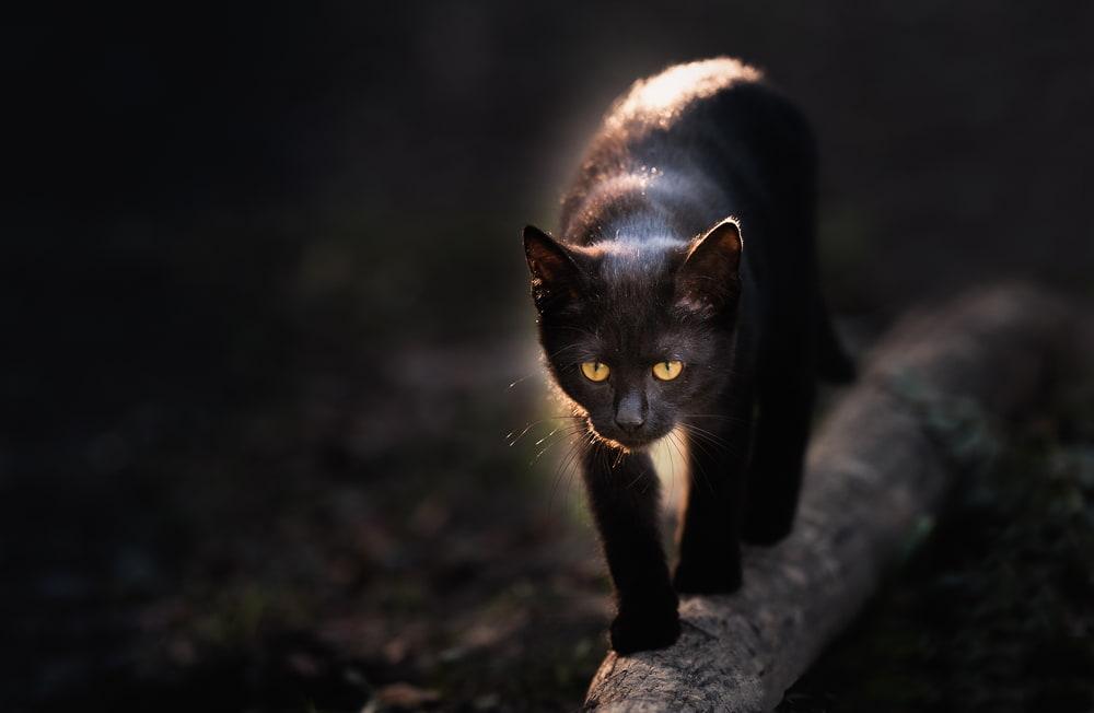 Black cat walking on log