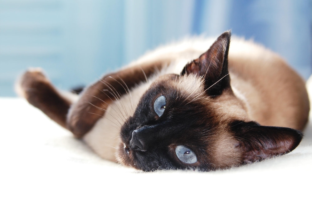 Sleepy Siamese cat on bed