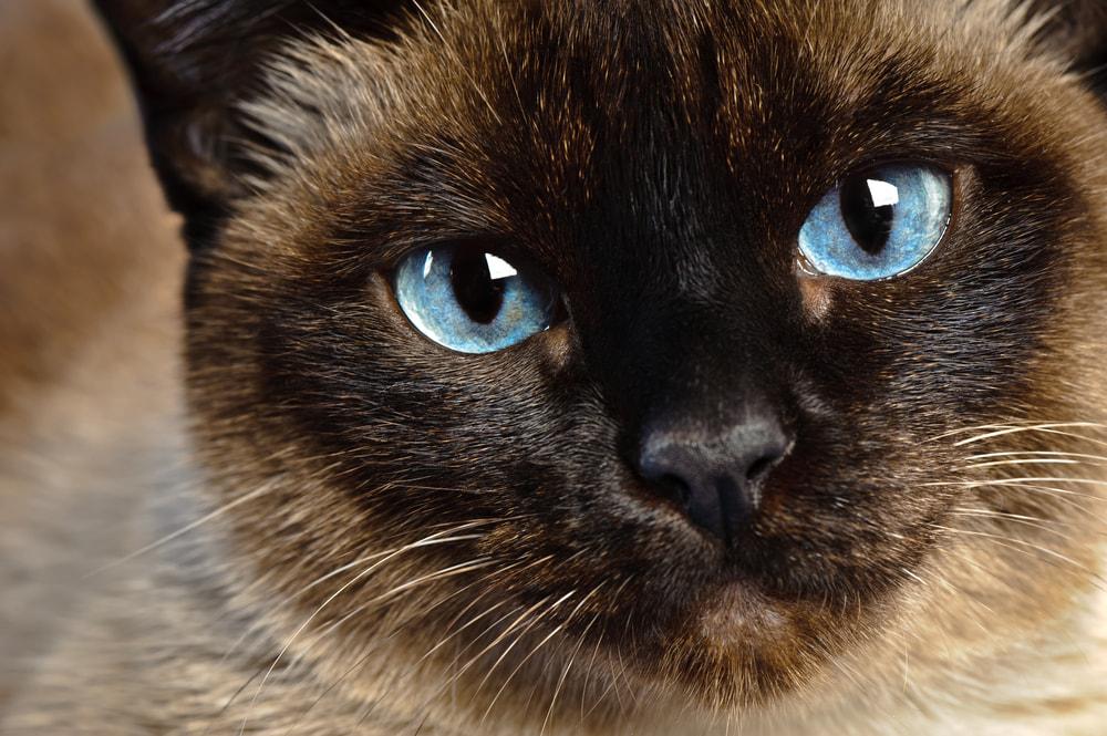 Closeup of Siamese cat eyes