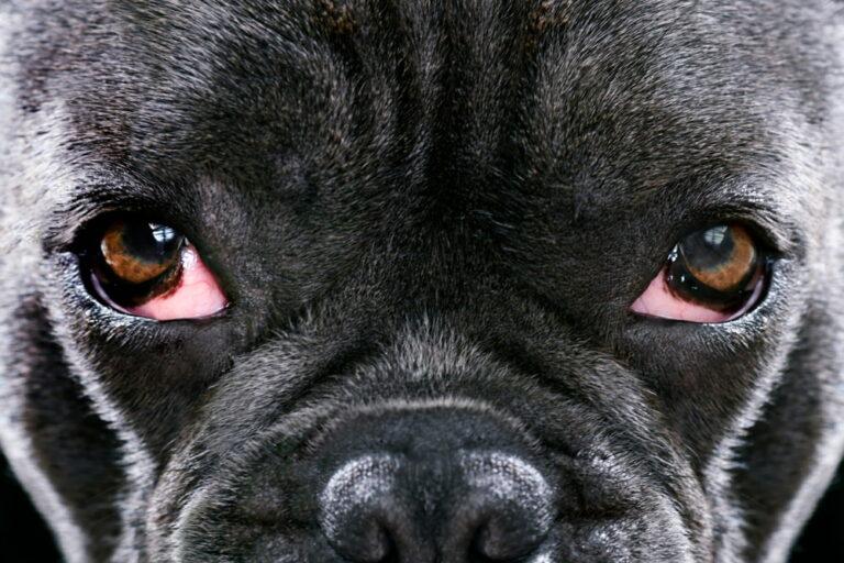 French Bulldog with cherry eye