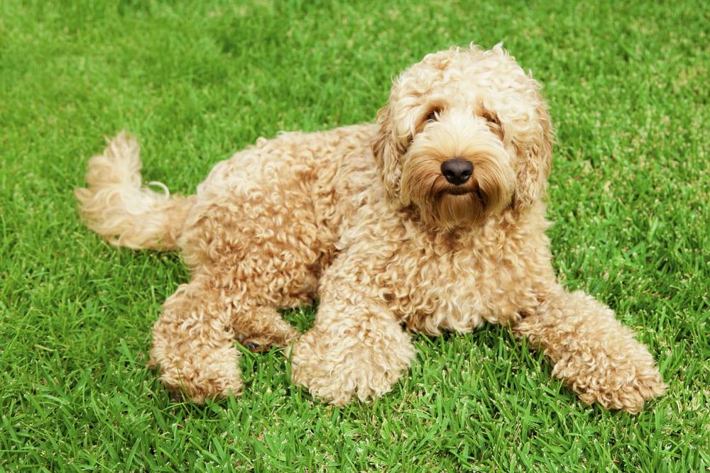 Golden Labradoodle dog on grass