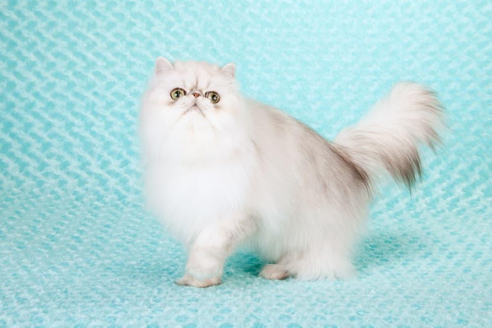 Portrait of white Persian cat