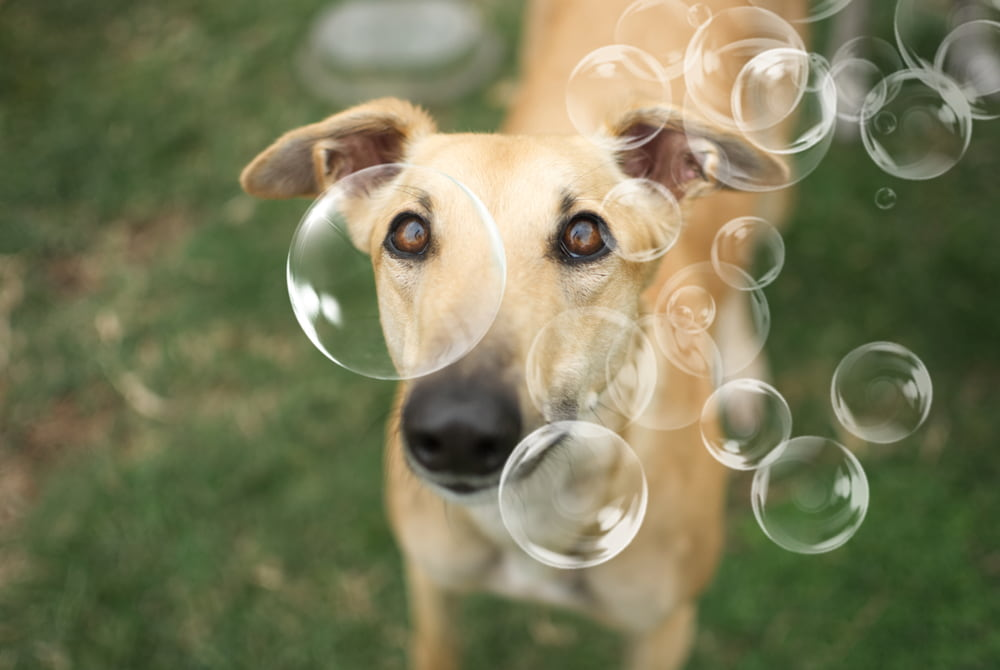 Greyhound and bubbles