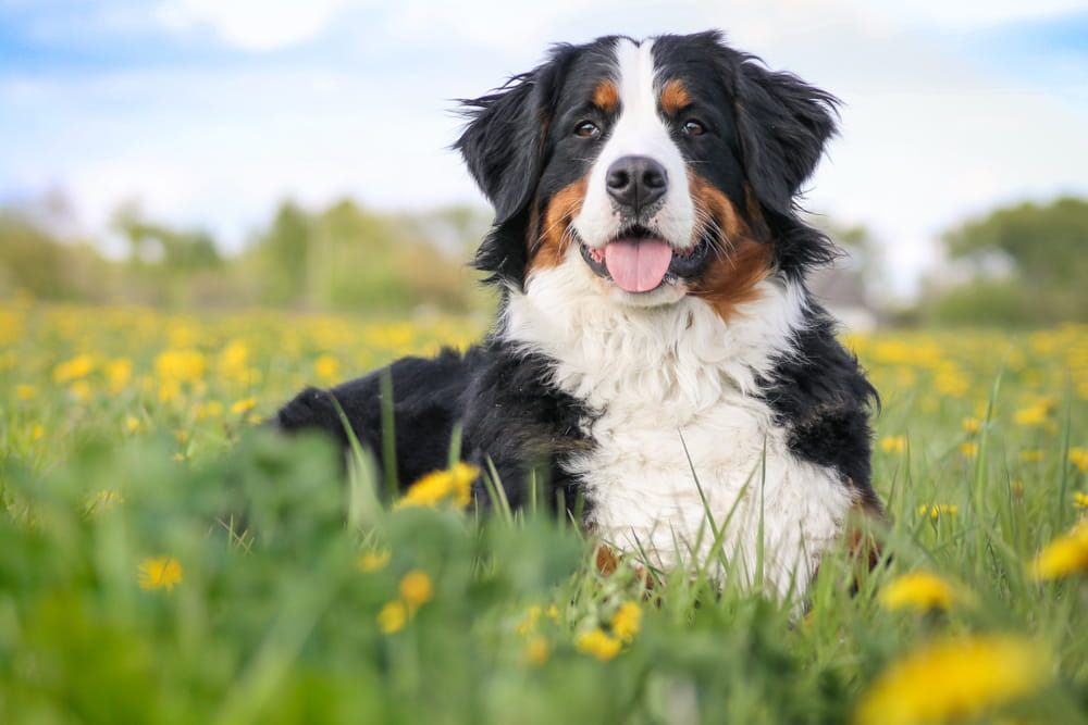 Bernese Mountain Dog smiling in field