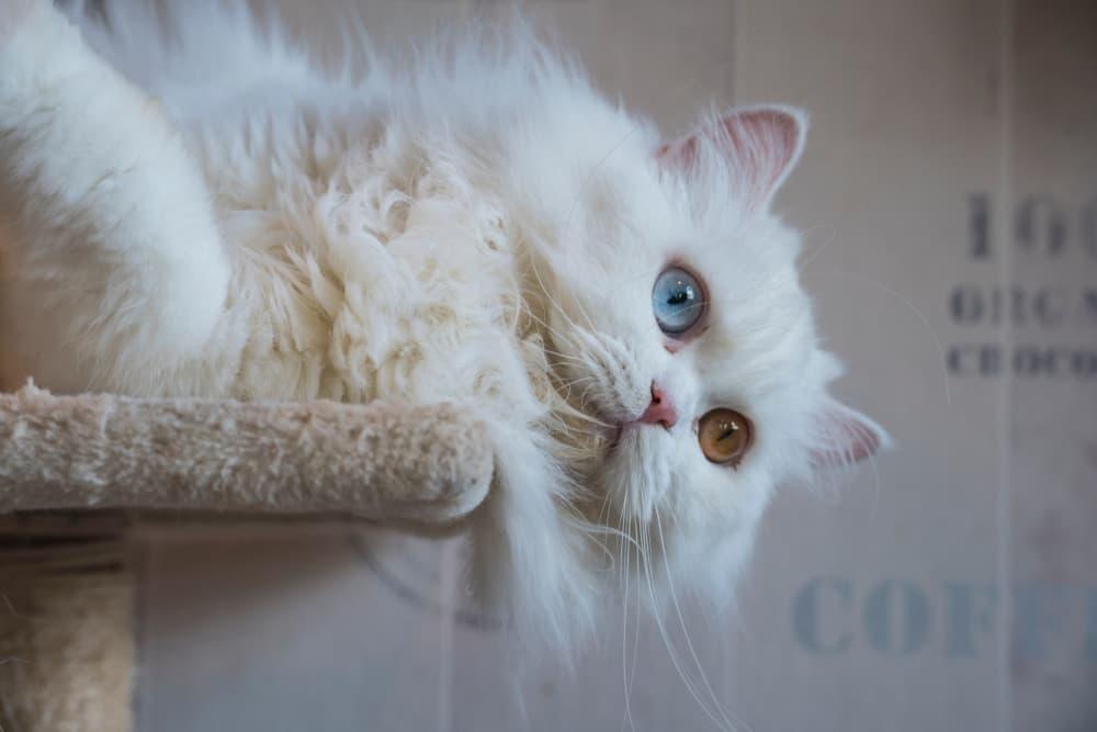 Playful Persian cat