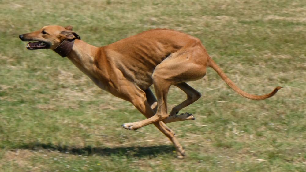 Greyhound running fast