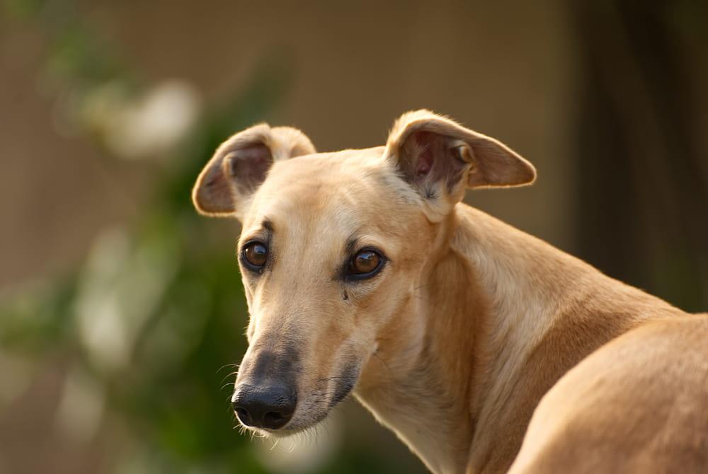 Tan Greyhound looking back