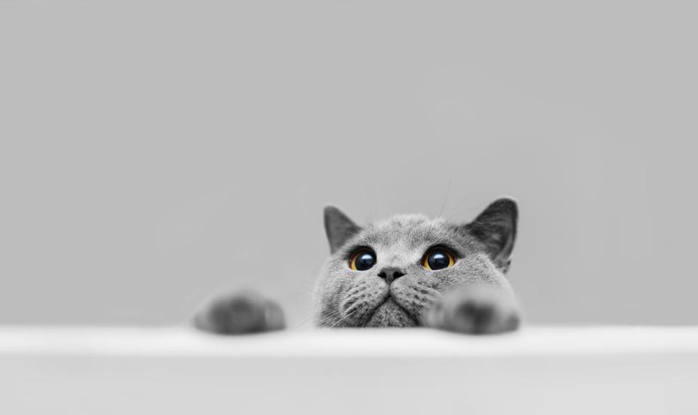 funny grey cat peeking over table