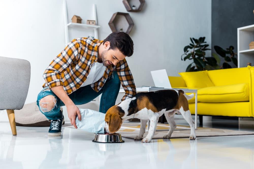Man feeding Beagle dog