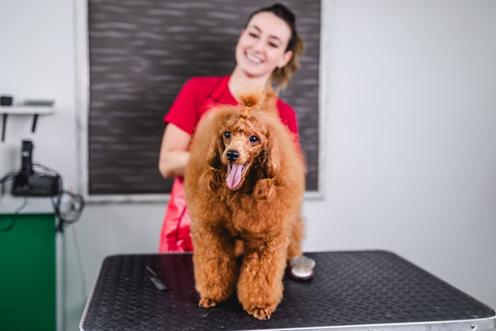 Woman grooming a Toy Poodle