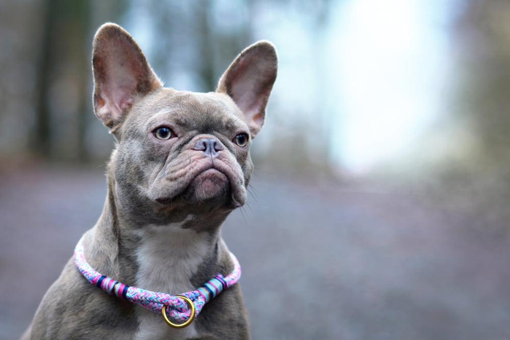 French Bulldog wearing fancy collar