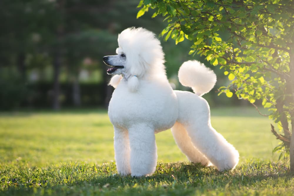 Poodle with a classic cut