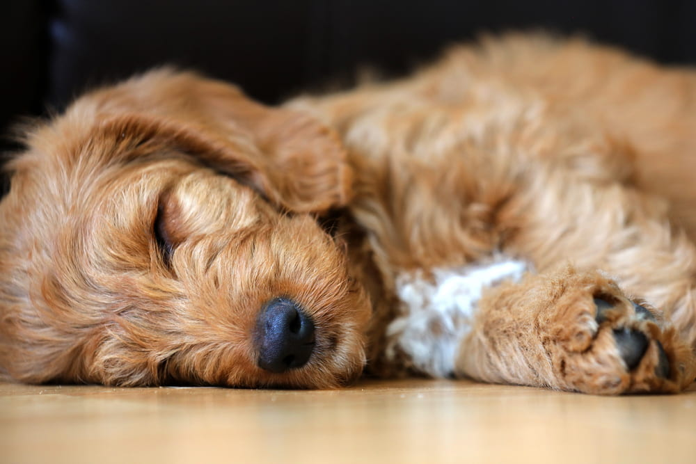 Labradoodle puppy sleeping
