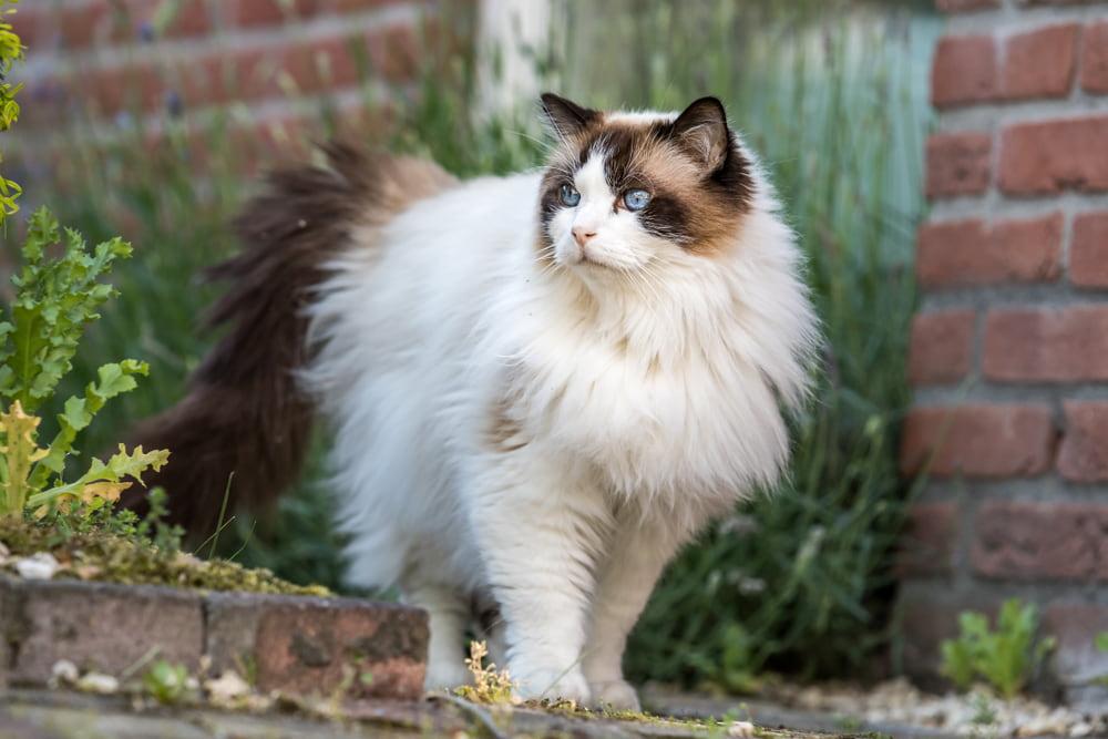 Ragdoll cat outside