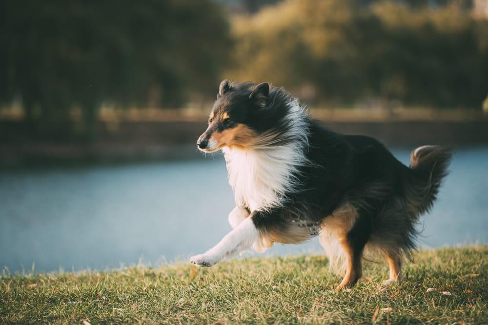 Collie dog running outside