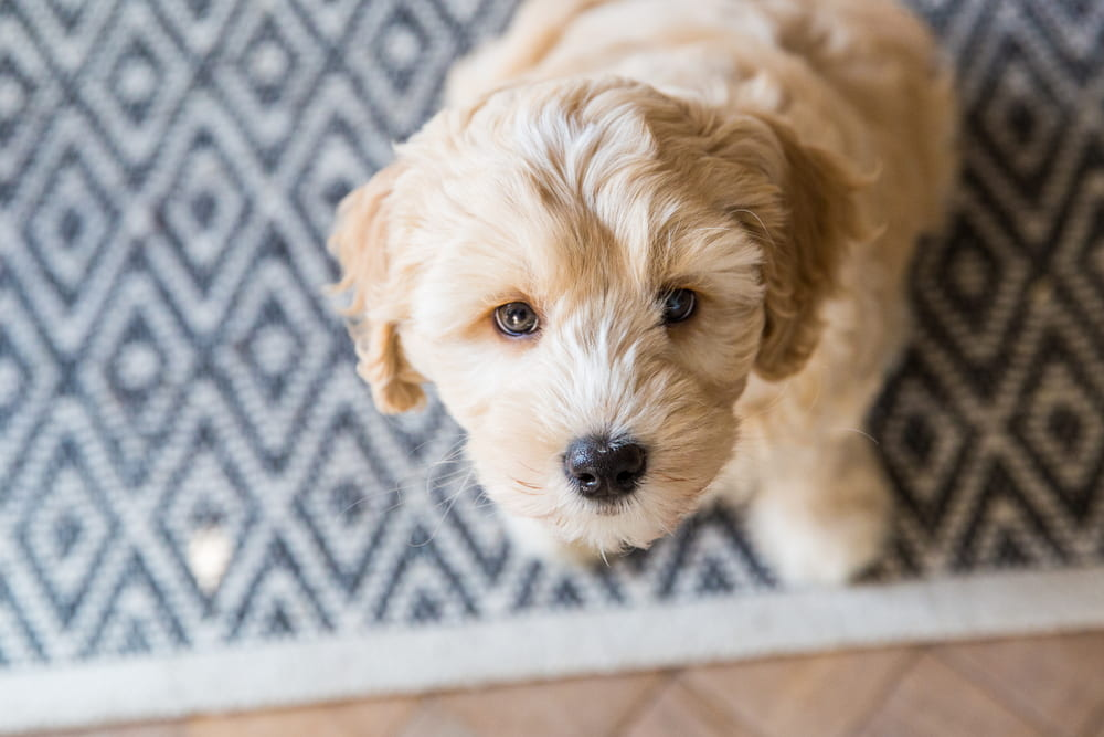 Labradoodle-puppy-looking-up