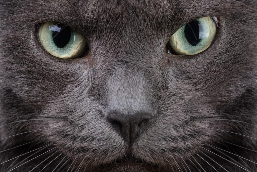 cool looking grey cat