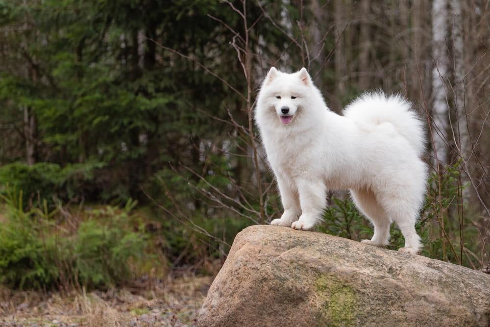 Samoyed dog standing on rock