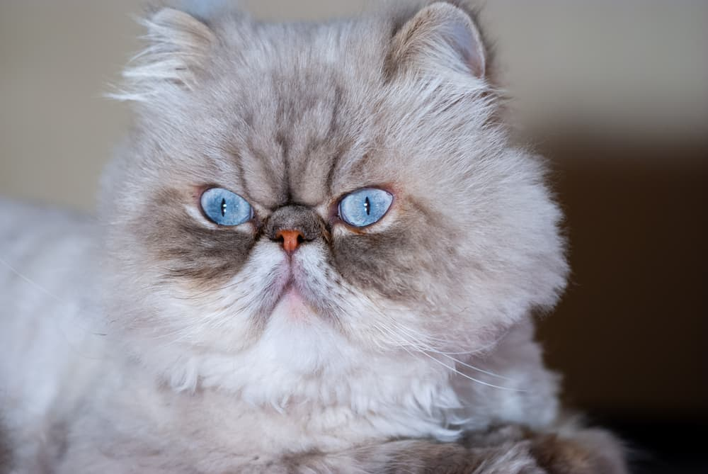 Persian cat with blue eyes