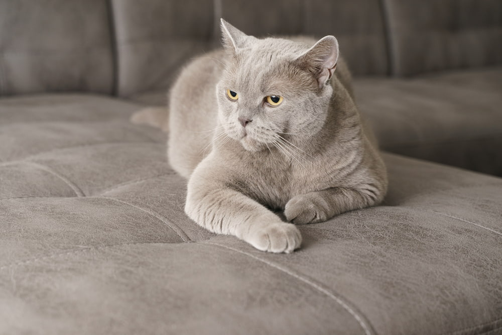 63 Grey Cat Names for Silvery Felines