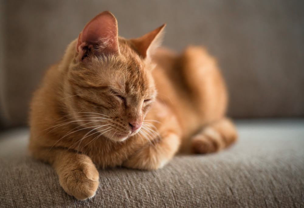 Lethargic cat on couch