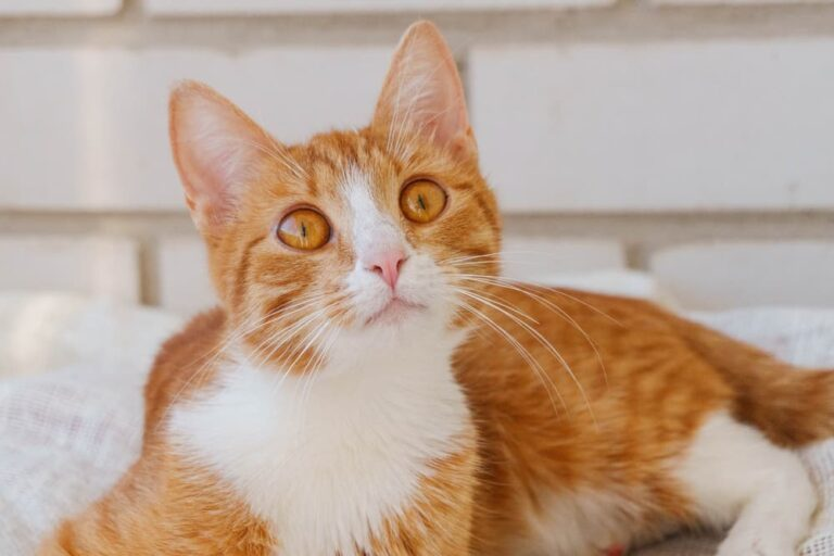 Orange cat on white background