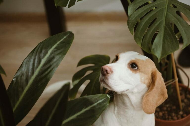 Beagle with houseplants