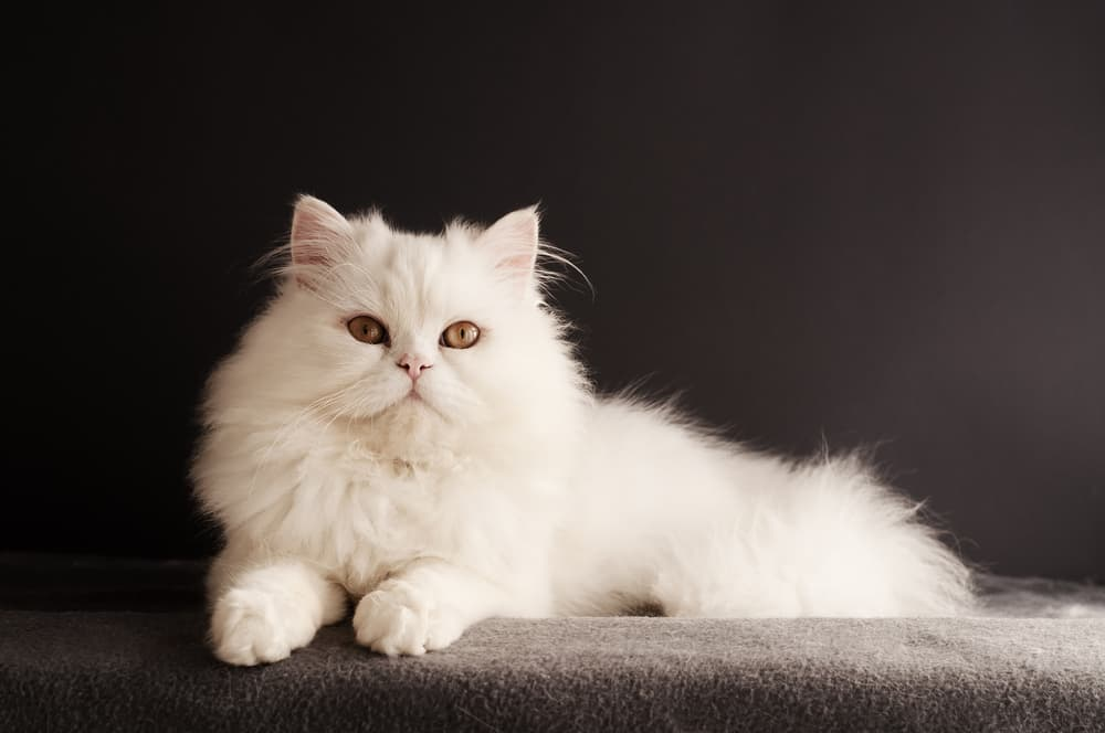 White Persian cat on black background