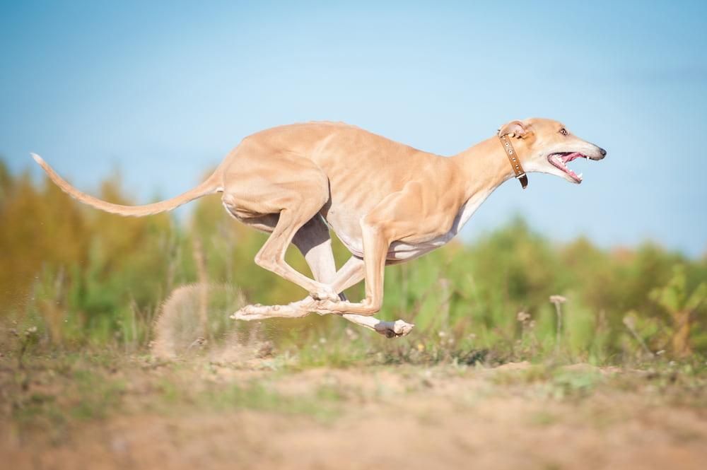 Tan Greyhound running