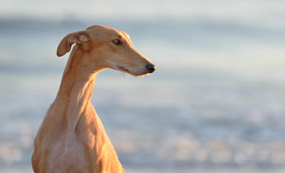 Greyhound at beach