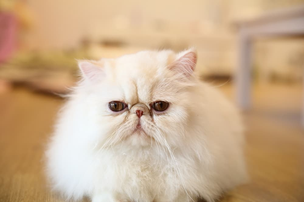White Persian cat with flat face