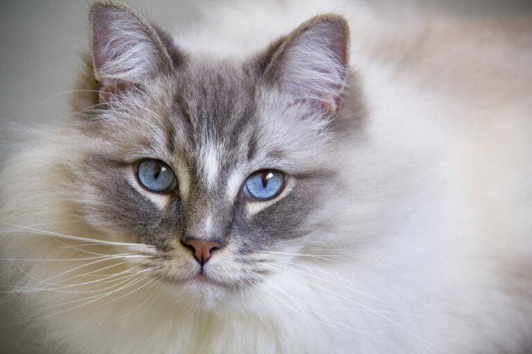 Ragdoll cat closeup