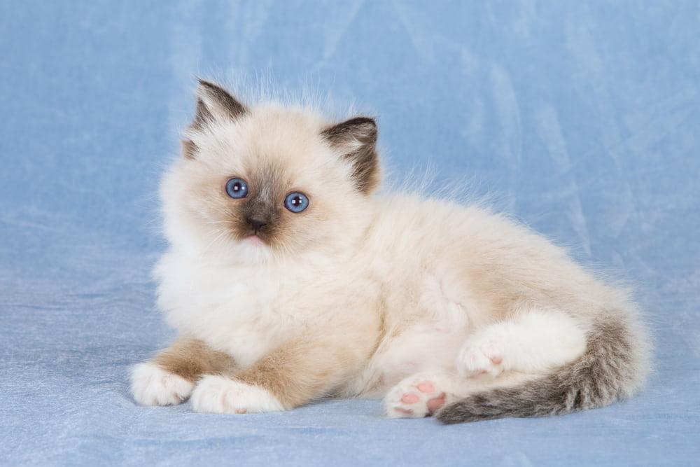 Picture of Ragdoll kitten