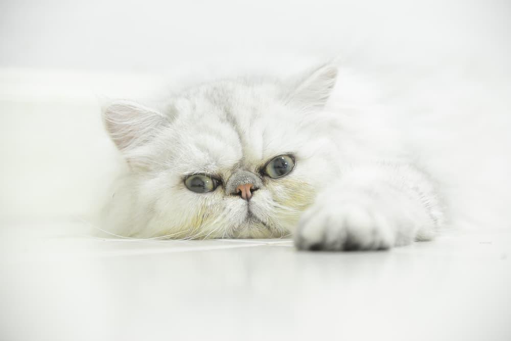 White Persian cat lying down